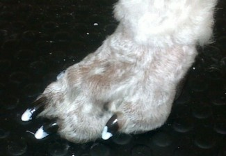 french_manicure_dog